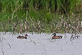 Blue Winged Teal (8932010488).jpg