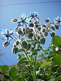 Blue borage flowers 2526205868 6b35bbac29 b.jpg