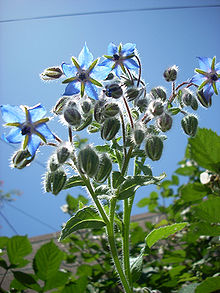 Borago officinalis, also known as borage, or starflower