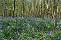 Bluebell Carpet at Sisland Wood - geograph.org.uk - 1841878.jpg