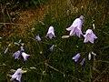 Bluebells (Campanula rotundifolia) - geograph.org.uk - 508316.jpg
