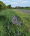 Bluebells along Bosworth Road - geograph.org.uk - 1332309.jpg
