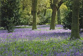 Bluebells in Winkworth.jpg