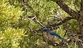 Bluebird (3600184844).jpg