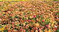 Blumenmeer.jpg