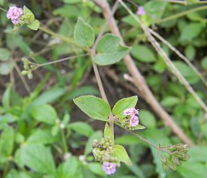 English: This is Boerhavia diffusa,a herb, pop...