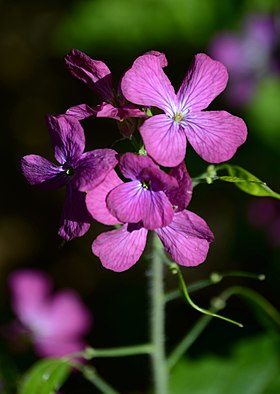 Bokeh photo of Lunaria.jpg