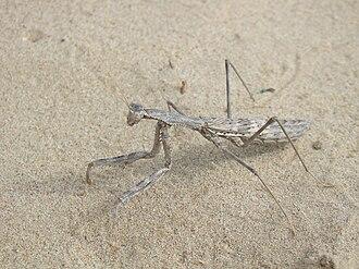 Miomantinae - Image: Bolivaria brachyptera Baikonur 04 07