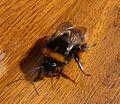 Bombus terrestris. Apoidae. - Flickr - gailhampshire.jpg
