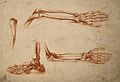 Bones of the foot, forearm, and hand. Crayon manner print by Wellcome V0007883ER.jpg