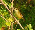 Booted warbler 3.jpg