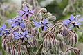 Borago officinalis-IMG 4346.jpg