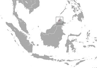 Bornean ferret-badger species of mammal
