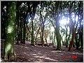 Bosque de Arrayanes, Isla Helvecia, Calbuco (2312977141).jpg