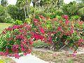 Bougainvillea spec-Cuba.jpg