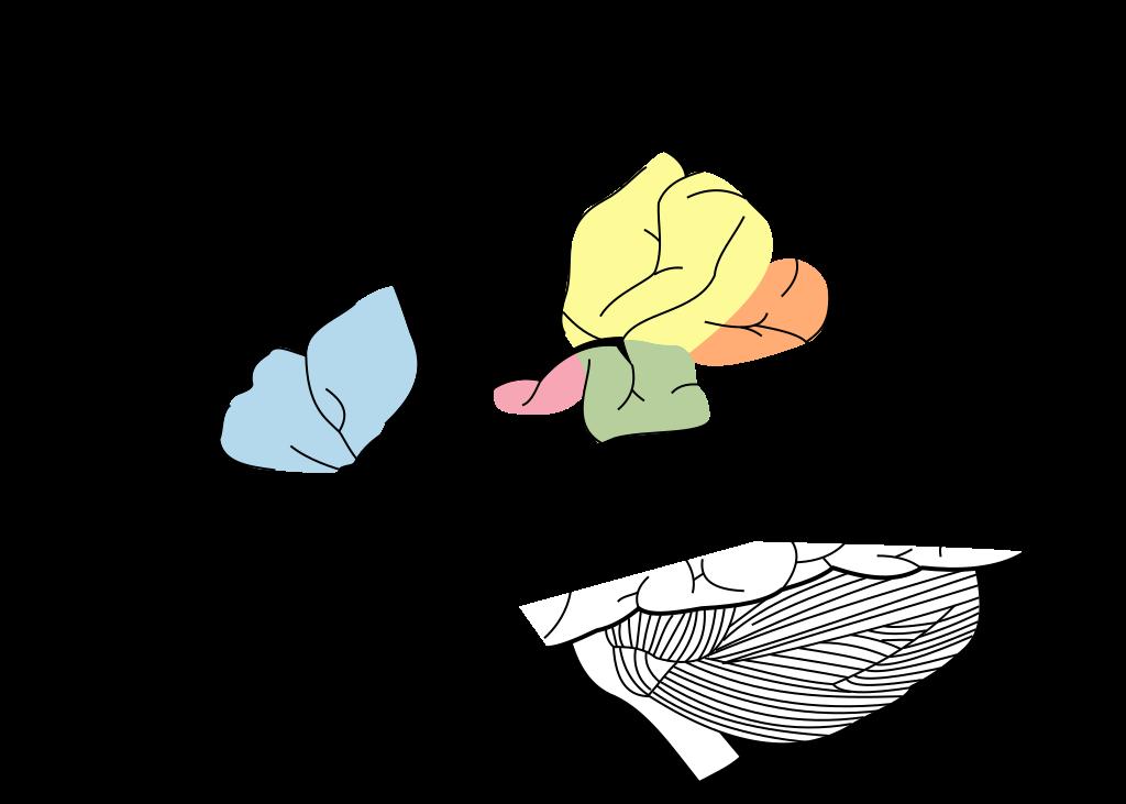 File:Brain Surface Gyri.SVG - Wikimedia Commons
