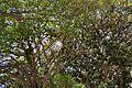 Brancatge de ficus, parc de Canalejas, Alacant.JPG