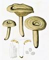 Bresadola - Lactarius pyrogalus.png