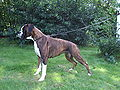 Brindle boxer female.JPG