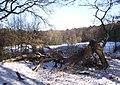 Broken Oak - geograph.org.uk - 2193197.jpg