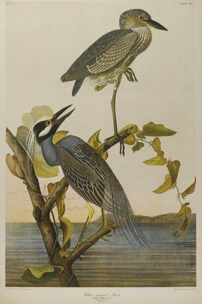File:Brooklyn Museum - Yellow-crowned Heron - John J. Audubon.jpg