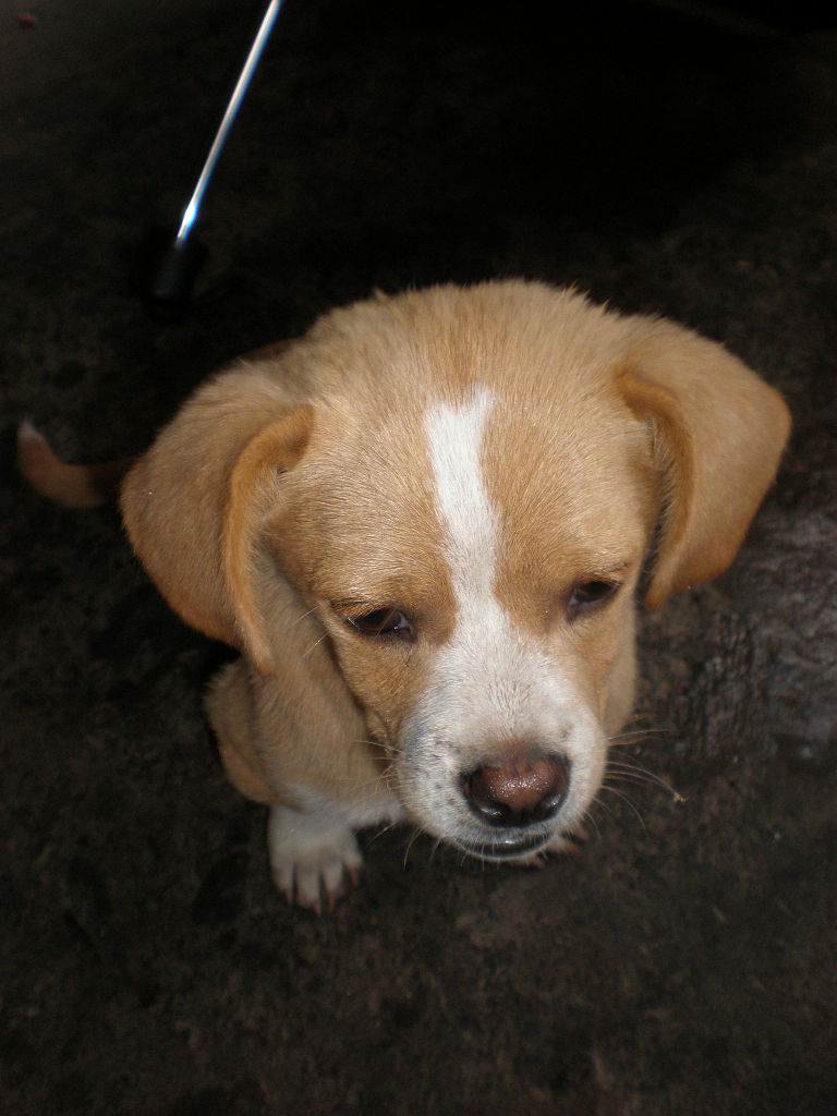 File:Brown-white mixed-breed puppy 1.JPG - Wikimedia Commons