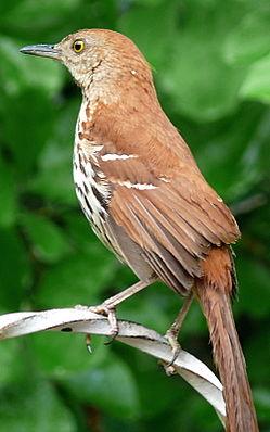 Rotrücken-Spottdrossel (Toxostoma rufum)