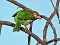Brown headed Barbet I3- Bharatpur IMG 8451.jpg