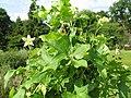Bryonia dioica (2144983672).jpg