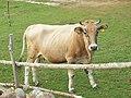 Buša cattle - Illyrian cattle leg P.Cikovac Bijela gora - Mt Orjen.jpg