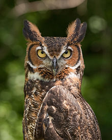 A brown owl with yellow eyes glares at the camera.