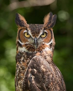 Great horned owl - Common great horned owl   B. v. virginianus