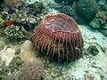 Bucket Coral, Mabini Batangas - panoramio (2).jpg