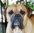 Buldogue (Bulldog) Campeiro.JPG