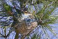 Bullock's Oriole (female & nest)-Ft Stockton-TX - 2015-05-25at16-26-0611 (21583080886).jpg