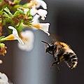 Bumble Bee Close Up (1210196).jpeg