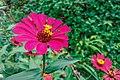 Bunga Echinacea Purpurea.jpg