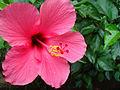 Bunga Hibiscus.jpg