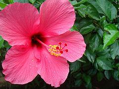 Hibiscus  Hibiscus  Details  Encyclopedia of Life