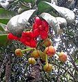 Bunga asam gelugur jantan kr.jpg