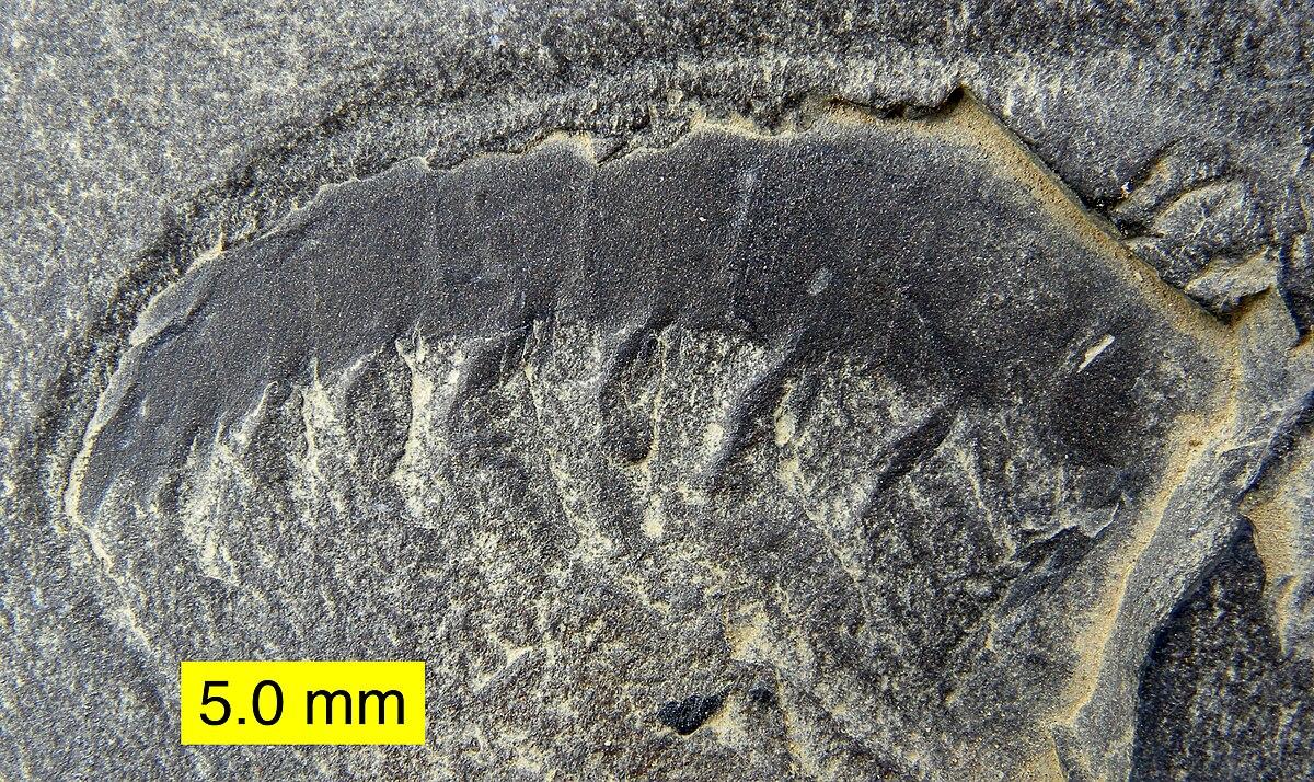Lucy fóssil  Wikipédia a enciclopédia livre