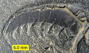 "Burgess Shale type fauna - Anomalocaridid ""arm"" from the Walcott Quarry, Burgess Shale, Middle Cambrian, British Columbia, Canada."