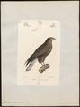 Buteo vulgaris - 1842-1848 - Print - Iconographia Zoologica - Special Collections University of Amsterdam - UBA01 IZ18200025.tif