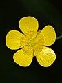 Buttercup (Ranunculus sp.) - Guelph, Ontario 02.jpg