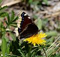 Butterfly Mammoth Lakes (20140420-0032).JPG