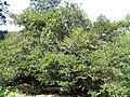 Buxus microphylla japonica 0zz.jpg