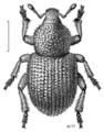 COLE Curculionidae Aphela algarum.png