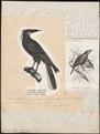 Cacicus bifasciatus - 1700-1880 - Print - Iconographia Zoologica - Special Collections University of Amsterdam - UBA01 IZ15800177.tif