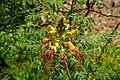 Caesalpinia gilliesii in Jardin des plantes de Montpellier 02.jpg