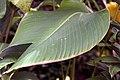 Calathea crotalifera 21zz.jpg